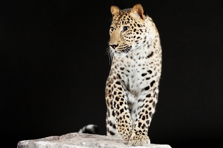 Elegant big leopard stands on rock, black background. photo