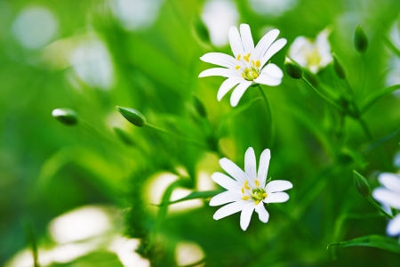 chickweed: Stellaria blooms on May green meadow.