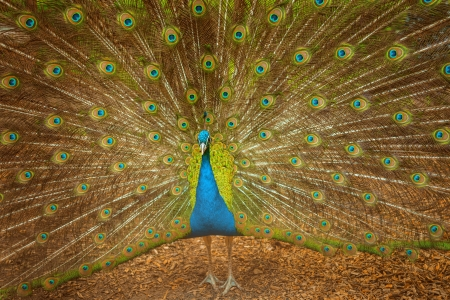 flaunt: Beautiful peacock spread its tail gorgeous mottled. Stock Photo