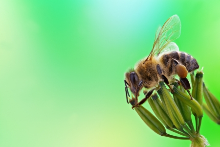 Honey bee sits on inflorescence, green background. Stock Photo - 20731546