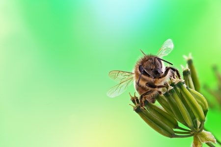Honey bee sits on inflorescence, green background. Stock Photo - 20731550