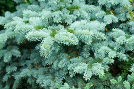 thuja: Background of branches of young trees close-up in flowerbed in summer city park. Stock Photo