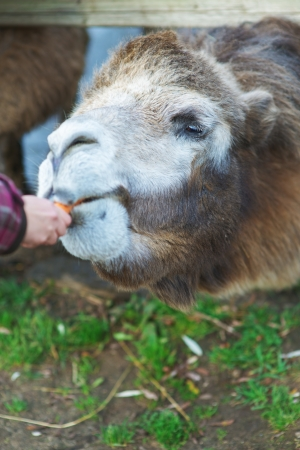 zoo youth: little girl in pink coat feeding two-humped camel.