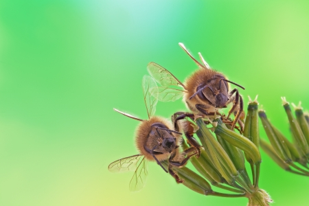 oney: Two oney bees sits on inflorescence, green background.