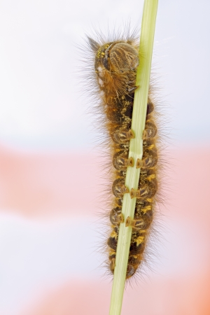 euthrix potatoria: Caterpillar - Silkworm grassy.