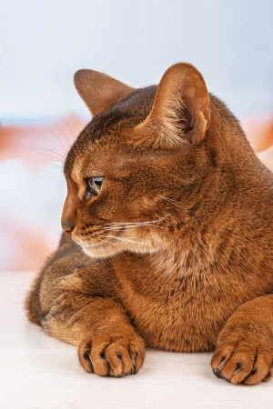 pampered pets: Beautiful Abyssinian cat close up.