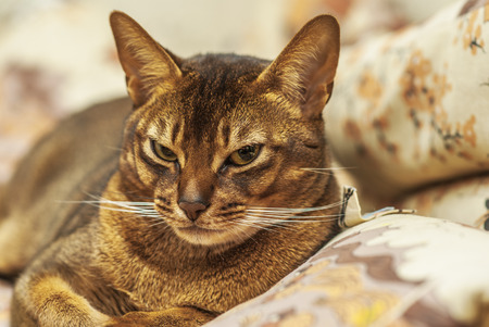 abyssinian cat: Abyssinian cat with brown a wool with watchfulness looks towards danger.