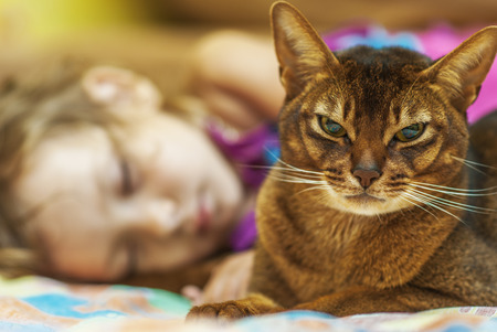 Abyssinian cat with brown wool with watchfulness looks towards danger. And sleep little girl.
