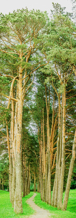 Forest path in pine forest on summer day. Stock Photo