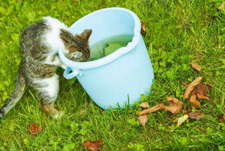gato jugando: El pequeño gatito bebe el agua del cubo azul en el césped verde. Foto de archivo