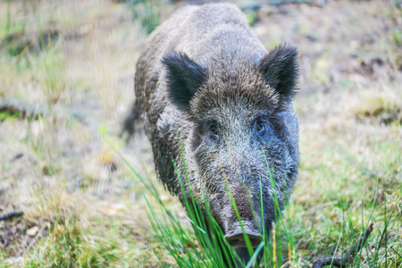 Wild boar on background of green grass. photo