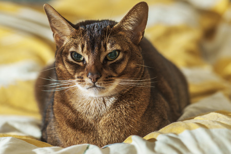 watchfulness: Abyssinian cat with brown a wool with watchfulness looks towards danger.