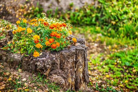 garden marigold: Orange marigold in flowerbed in stum, summer city park.
