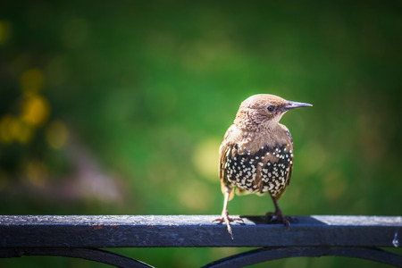 Starling sits on iron fence in summer city park. photo