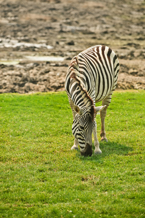 are grazed: Striped zebra is grazed on meadow and eats grass.