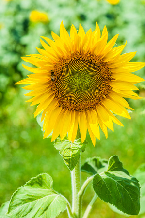 comprising: Helianthus (sunflower) is a genus of plants comprising about 52 species in Asteraceae family, all of which are native to North America