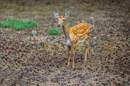 asia deer: Sika deer, Cervus nippon, also known as spotted deer or Japanese deer, is species of deer native to much of East Asia, and introduced to various other parts of world Stock Photo