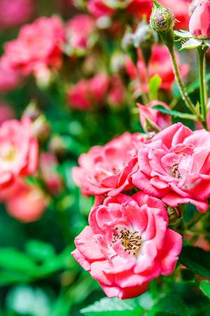 briar: Flowers briar in summer green garden. Stock Photo