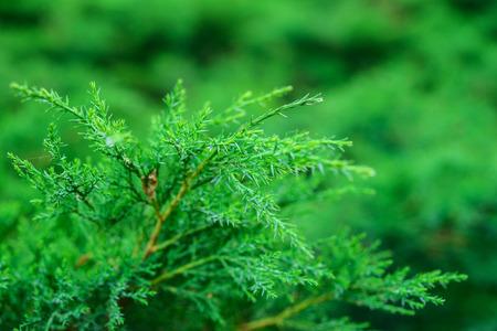 thuja: Green thuja branch closeup. Stock Photo