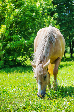 piebald: Piebald horse grazing on green lawn summer pasture. Stock Photo