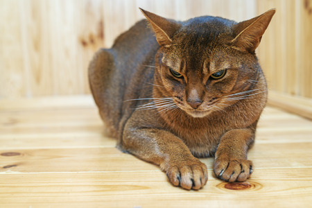 Abyssinian cat with brown wool with watchfulness looks towards danger.