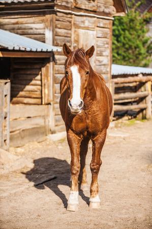 piebald: Piebald horse walks in stables.