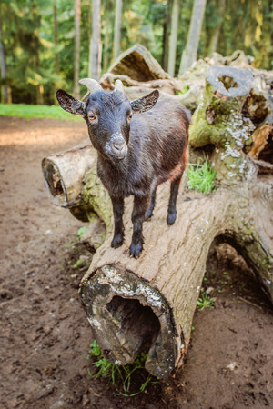 hircus: Young black goat climbed on log in barnyard. Stock Photo