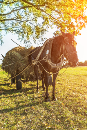 cartage: Black horse, which was harnessed to cart, transporting hay harvesting winter.