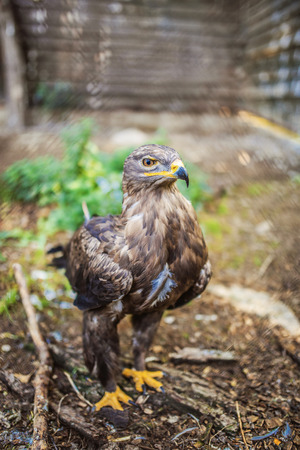 Bonelli eagle is large bird of prey. Like all eagles, it belongs to family Accipitridae. photo
