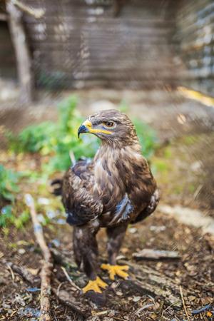 a large bird of prey: Bonelli aquila � grande uccello rapace. Come tutte le aquile, appartiene alla famiglia Accipitridae. Archivio Fotografico