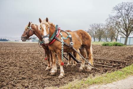 Twee bruine paarden ploegen land.