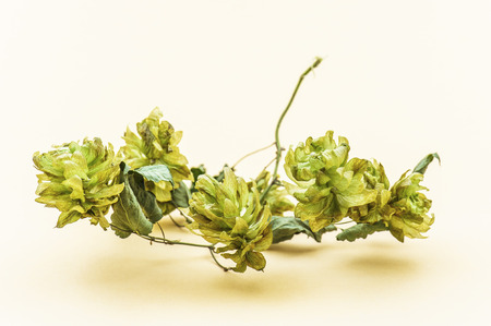 bitterness: Humulus, hop, is a small genus of flowering plants in family Cannabaceae. Hop is native to temperate regions of Northern Hemisphere.