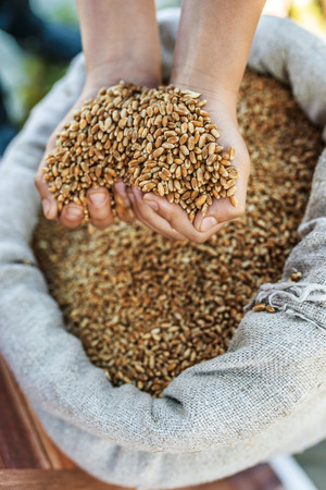 Girl takes two hands grain of wheat out of bag. photo