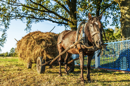 haymaking: Black horse, which was harnessed to cart, transporting hay harvesting winter.