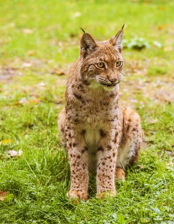 lince: Lince eurasiático es un nativo gato de tamaño mediano a los bosques europeos y siberianos, Asia Central y Asia Oriental. Foto de archivo