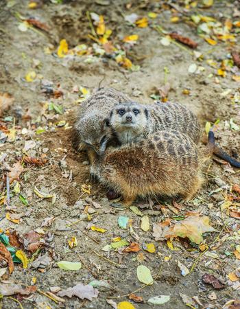 herpestidae: Meerkat or suricate, is small carnivoran belonging to mongoose family (Herpestidae).