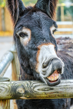 Mule is the offspring of a male donkey (jack) and a female horse (mare). photo