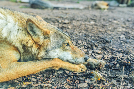 canid: Gray wolf also known as timber wolf, or western wolf, is canid native to wilderness and remote areas of North America, Eurasia, and northern, eastern and western Africa. Stock Photo