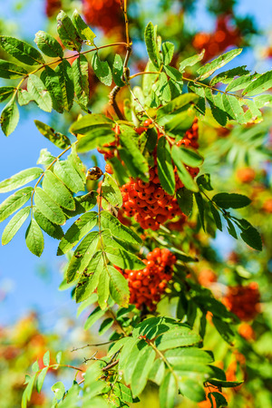 sorbus aucuparia: Sorbus Sorbus aucuparia aka rowan. Stock Photo