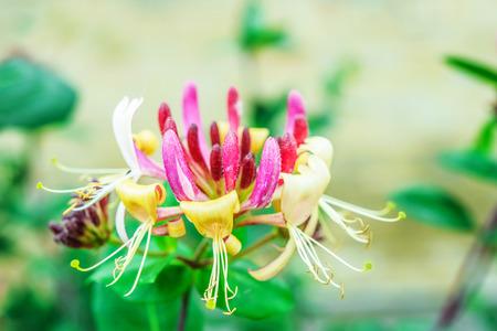 perennial: Lonicera caprifolium is a species of perennial flowering plants in the genus Lonicera of the Caprifoliaceae family.