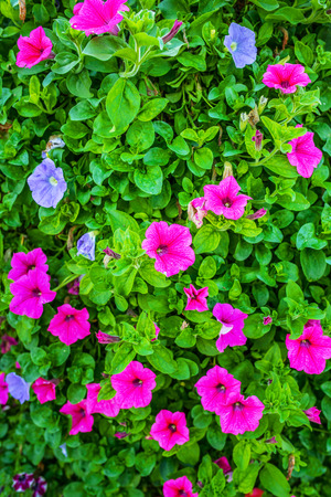 solanaceae: Petunia is genus of 35 species of flowering plants of South American origin, closely related to tobacco, cape gooseberries, tomatoes, deadly nightshades, potatoes and chili peppers; in family Solanaceae.
