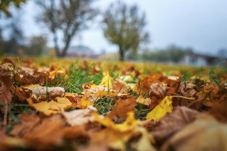 autmn: Fallen leaves in autumn city park.