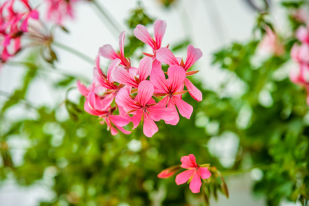perennials: Pelargonium peltatum is a genus of flowering plants which includes about 200 species of perennials, succulents, and shrubs, commonly known as geraniums.