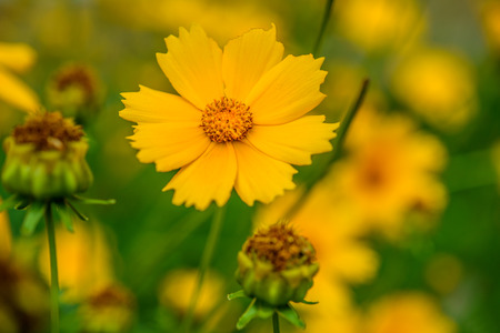 auriculata: Coreopsis is a genus of flowering plants in the family Asteraceae. Common names include calliopsis and tickseed, a name shared with various other plants.
