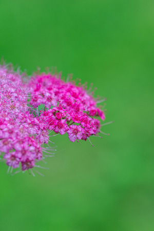 rosaceae: Spiraea japonica, is a genus of about 80 to 100 species of shrubs in the family Rosaceae. They are native to the temperate Northern Hemisphere, with the greatest diversity in eastern Asia. Stock Photo