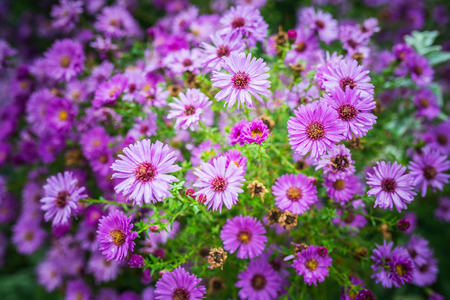 asterids: Symphyotrichum novi-belgii also known as New York Aster is the type species for Symphyotrichum, a genus of the family Asteraceae whose species were once considered to be Asters.