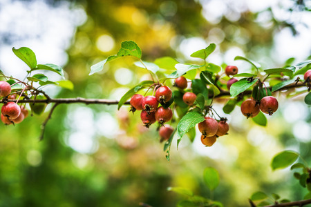 progenitor: Malus sylvestris, the European crab apple, is a species of the genus Malus, native to Europe. Its scientific name means forest apple, and the truly wild tree has thorns.