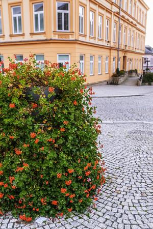 plants species: Pelargonium � un genere di piante che comprende circa 200 specie di piante perenni, piante grasse e arbusti, comunemente noto come gerani. Archivio Fotografico