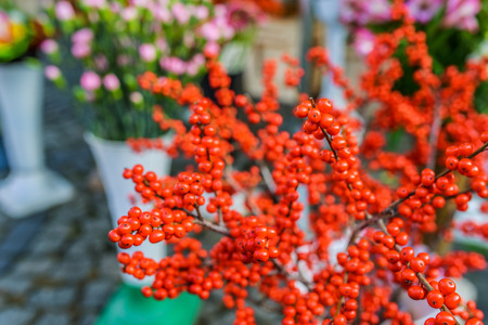 dicot: Shepherdia, commonly called buffaloberries or bullberries, are a genus of small shrubs in the Elaeagnaceae Family. Stock Photo
