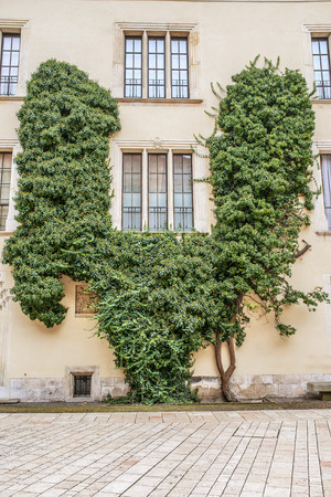 ivy wall: View of windows and of a wall covered with green ivy Stock Photo